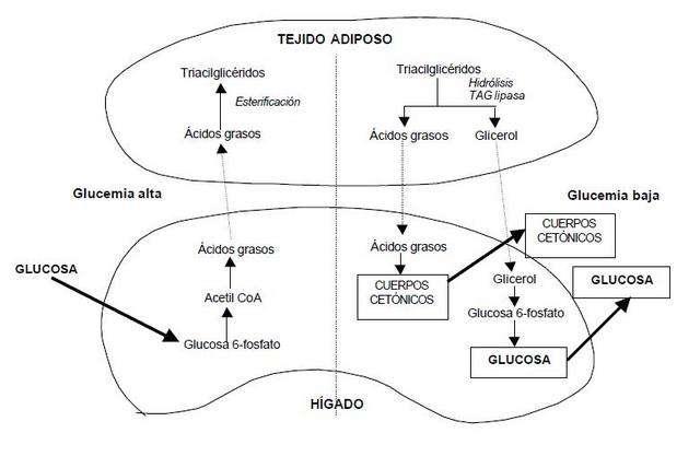 metabolismo lipoproteinas en el cuerpo humano
